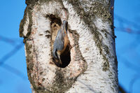 Eurasian nuthatch
