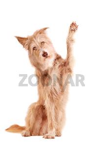 waving dog isolated