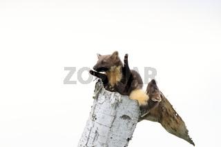 European pine marten (Martes martes) Usedom Germany