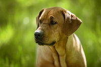 Broholmer dog in nature background