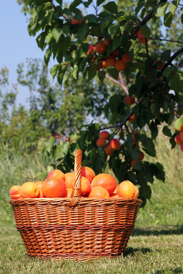 Basket of apricots