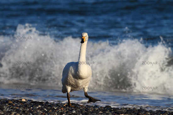 Whooper Swan at the beach of Helgoland