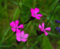 Carthusian pink, charterhouse pink, cluster-head pink, clusterhead (pink)