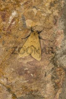 Noctuoidea, Moth, Meghalaya, india