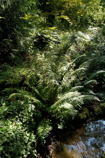 Dryopteris affinis, Schuppiger Wurmfarn, scaly male fern