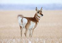 Pronghorn Antelope Prairie