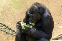 Gorilla eating green lettuce