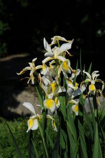 Iris ochroleuca, Steppen-Iris