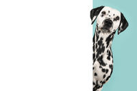 Portrait of a pretty dalmatian dog looking around the corner of a white empty board with space for copy