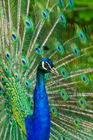 Indian Peafowl or Blue Peafowl (Pavo cristatus)