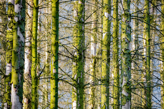 Spruce Trunks In A Mossy Forest
