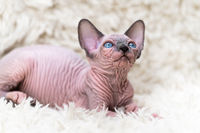 Canadian Sphynx Cat kitten with big blue eyes looking up, lying down on carpet