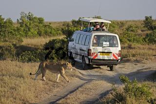 Löwe (Panthera leo), Weibchen, im Hintergrund Safariwagen,  Masa