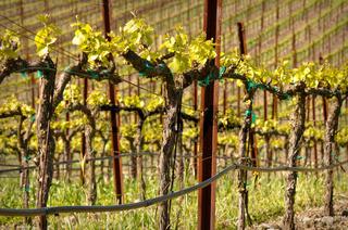 Grapes Vines in Vineyard during Spring