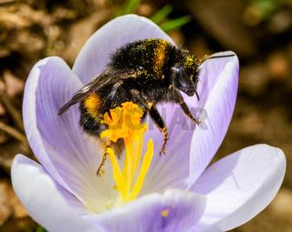 Bumblebee at a purple crocus flower blossom