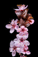 Detail view of a branch of the blood plum with flowers, buds and leaves isolated on black