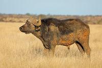 An African buffalo (Syncerus caffer) in open grassland