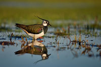 Northern lapwing in the water