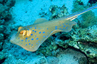 Blue spotted Ribbontail Ray, Red Sea, Egypt