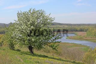 Blühender Apfelbaum auf dem Kleinen Rummelsberg, im Hintergrund der Wesensee bei Brodowin