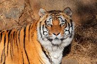 Portrait of a Bengal tiger (Panthera tigris bengalensis) in natural habitat