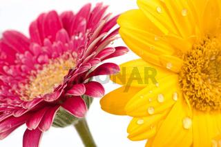 Zwei wunderschöne Gerbera Blüten mit Wassertropfen