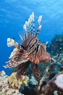 Rotfeuerfisch am Riff, Aegypten