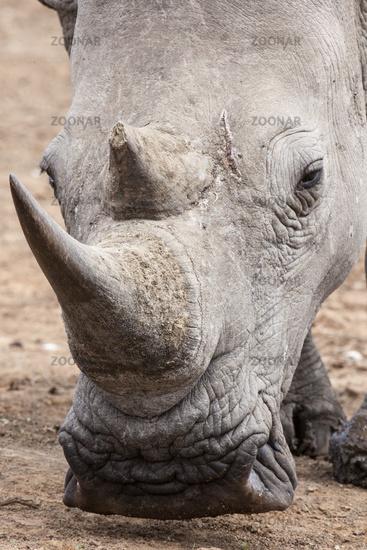 White Rhino (Ceratotherium simum) in portrait
