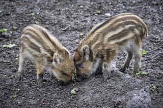 Wildschweine ( Sus scrofa ).