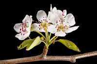 Detail shot of a branch of the apple tree with flowers, buds and leaves in front of a blurred backgr