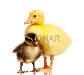 Domestic duckling and gosling
