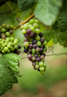 Grapevine with unripe green and blue grapes. German vineyard.
