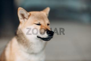 Shiba Inu pet japanese national dog oudoors