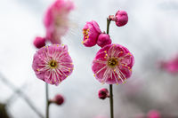 red plum blossoming closeup