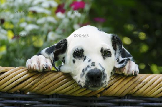 Dalmatian puppy, seven weeks old, in a garden