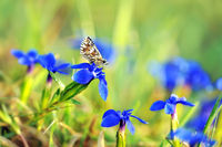 grizzled skipper on blue stemless gentian