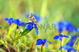 Malven-Würfelfleck auf blauem Enzian