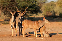 Kudu antelopes (Tragelaphus strepsiceros) in natural habitat