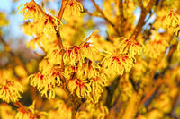 Hamamelis Strauch blüht im Winter - Hamamelis with yellow flowers is blooming in winter