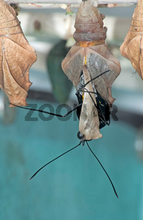 Butterfly leaves cocoon