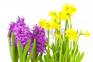 Osterglocken und Hyazinthen, Daffodils and hyacinths