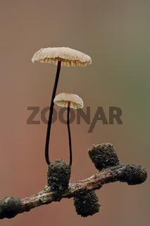 Rosshaar-Blasssporruebling (Gymnopus androsaceu)