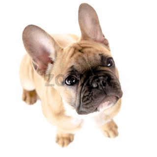 Französische Bulldogge vor weiß