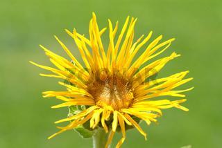Blüte des Alant, Heilpflanze, Inula helenium,