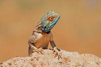 Portrait of a ground agama (Agama aculeata) sitting on a rock