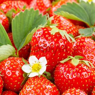Erdbeeren Beeren Früchte Erdbeere Beere Frucht mit Blüten und Blätter quadratisch