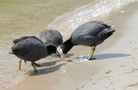 Eurasian Coots with crab