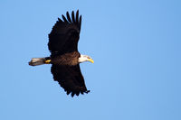 American Bald Eagle flying