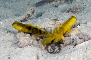 Gelbe Waechtergrundel, Papua Neuguinea