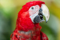 Scarlet Macaw parrot, close up, on green background
